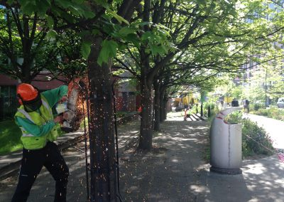 Removal of Row of Maples – Sheffield